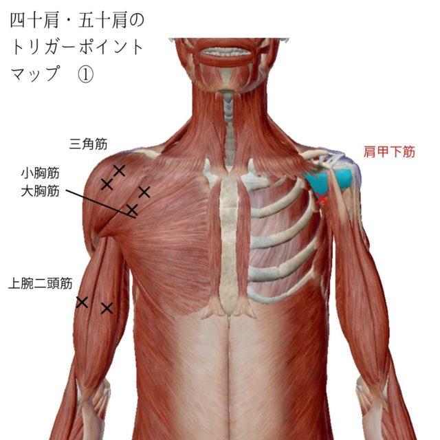 四十肩・五十肩のトリガーポイントと原因となる筋肉①